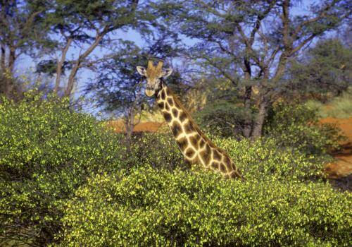 Giraffe hinter Sträuchern