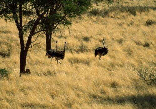 Strauße im Savannengrasland