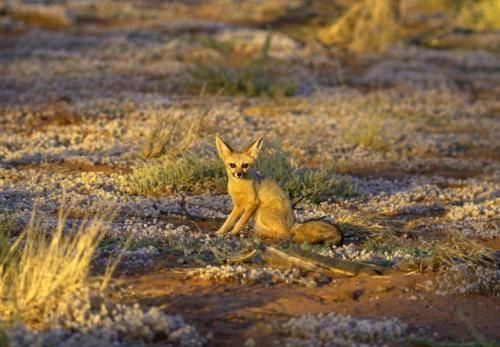 Kapfuchs in der Kalahariwüste im Abendlicht