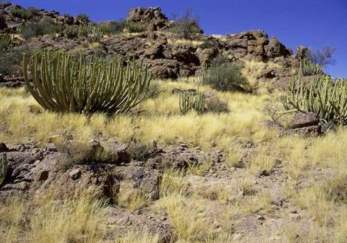Schöne Kandelaber-Euphorbien in einer fast wüstenartigen Landschaft