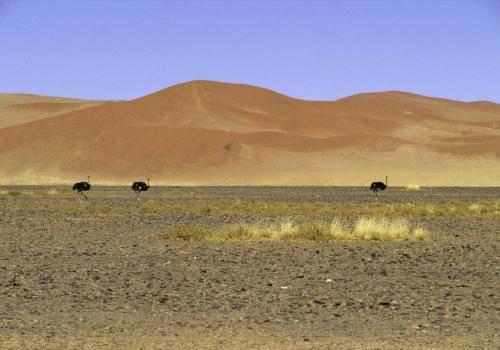 Strauße in der Wüste