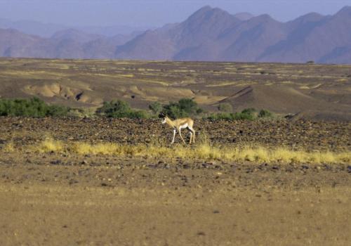 Einsamer Springbock in der Wüste