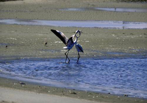 Flamingos beim Liebestanz