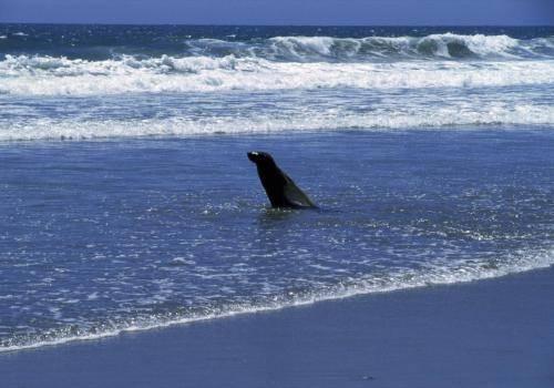 Seelöwe am südlichen Atlantikstrand