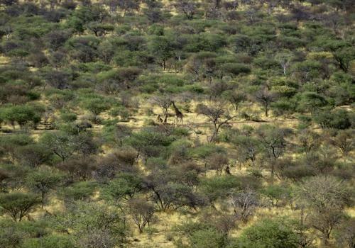 Einsame Giraffe in der afrikanischen Buschlandschaft