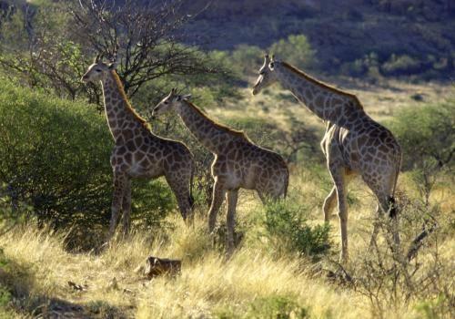 Giraffen in der Buschsavanne