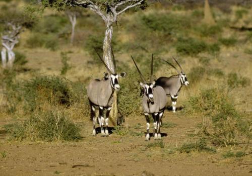 Oryxe (Spießböcke)