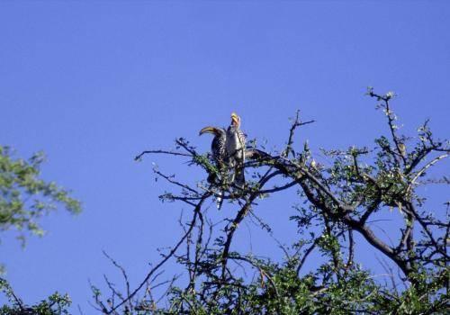 Gelbschnabeltokopaar auf einem Baum