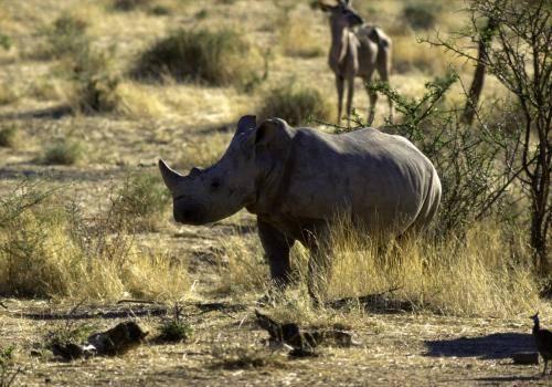 Nashorn in der Buschsavanne