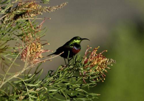 Blütennektarvogel