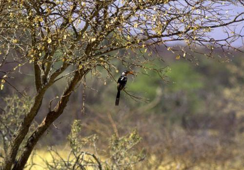 Gelbschnabeltoko auf einem Baum