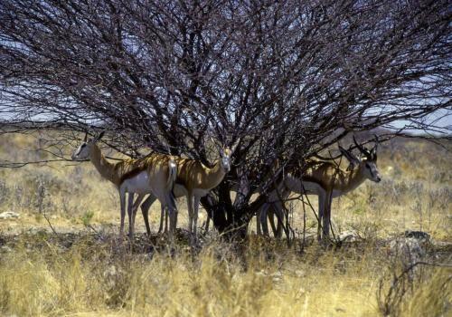Springböcke im Etosha Nationalpark,