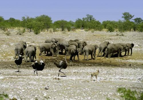Elefantenherde und Strauße an einer fast ausgetrockneten Wasserstelle