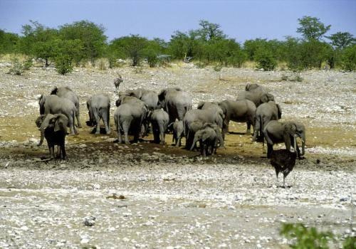 Elefantenherde an einer fast ausgetrockneten Wasserstelle im Etosha Nationalpark