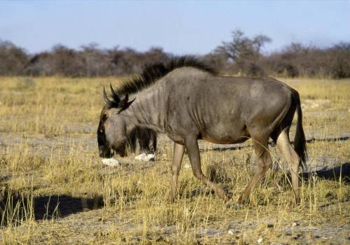 Gnu im Etosha Nationalpark