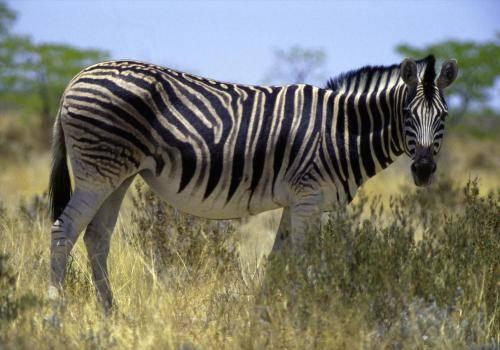 Zebra im Etoshapark