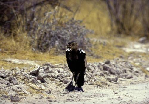 Vogel im Etosha Nationalpark