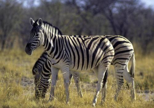 Zebras in der Steppe des Etoshaparks