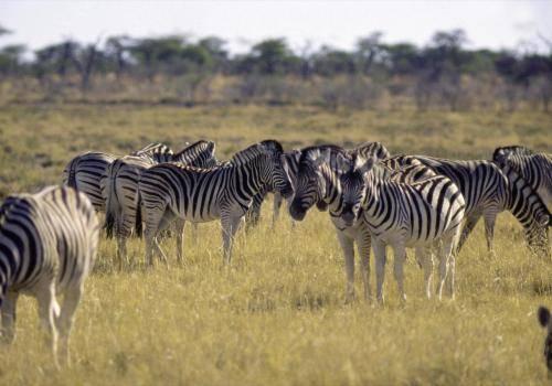 Zebraherde in Namibia
