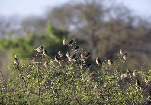 Blutschnabelweber-Vögel