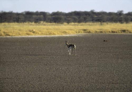 Einsamer Springbock im Etosha Nationalpark,