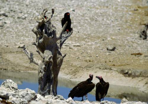 Gaukler und Ohrengeier an einer Wasserstelle