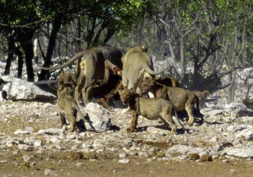 Löwenrudel beim Fressen eines Zebras