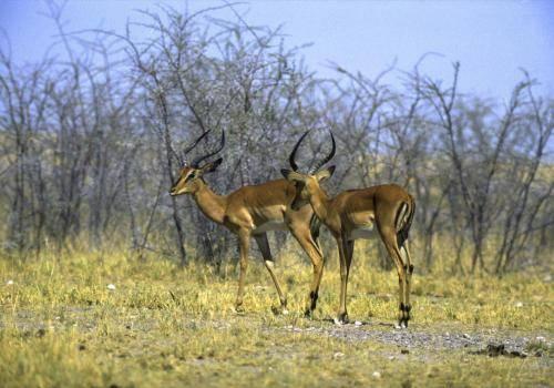 Schwarzgesicht Impalas im Etosha Nationalpark
