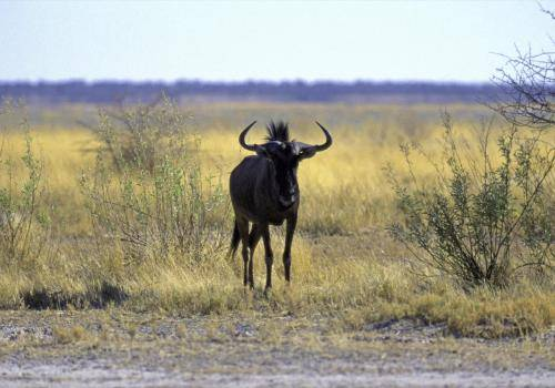 Gnu in der Steppe