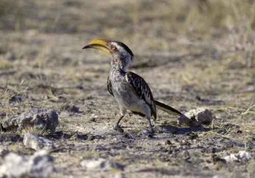 Gelbschnabeltoko im Etosha Nationalpark