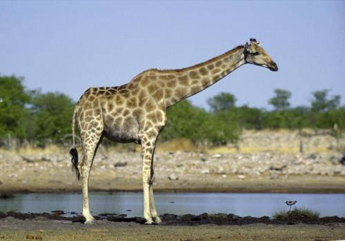 Giraffe an einer Wasserstelle im Etosha Nationalpark