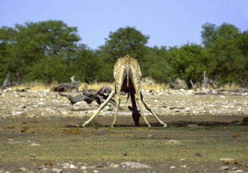 Giraffe von hinten an einer fast ausgetrockneten Wasserstelle