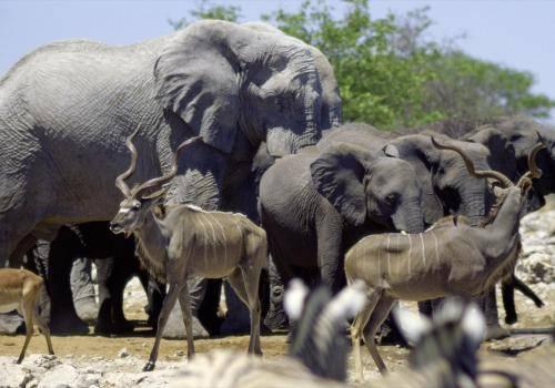 Elefanten und Kudus,