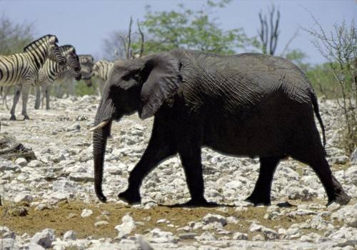 Elefanten und Zebras