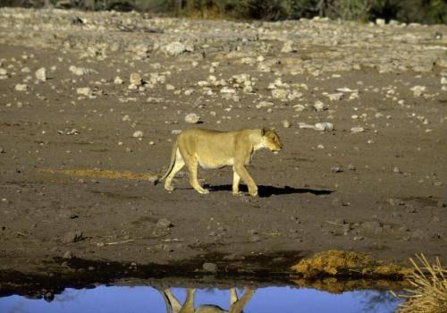 Löwin an einer Wasserstelle