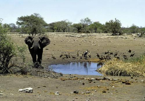 Elefant, Geiern und Marabus an einer Wasserstelle