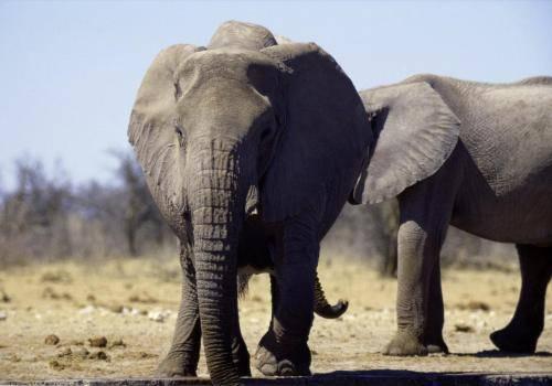 Elefantenbullen im Etosha Nationalpark