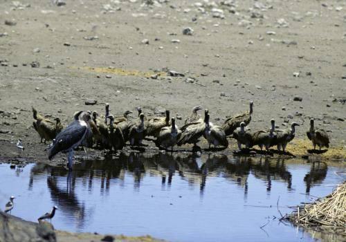 Weißrückengeier an einer Wasserstelle