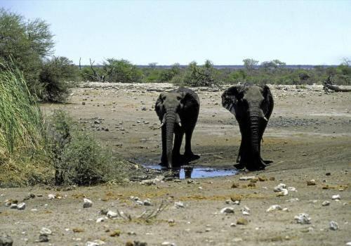 Elefantenkühe an einer Wasserstelle im Etosha Nationalpark