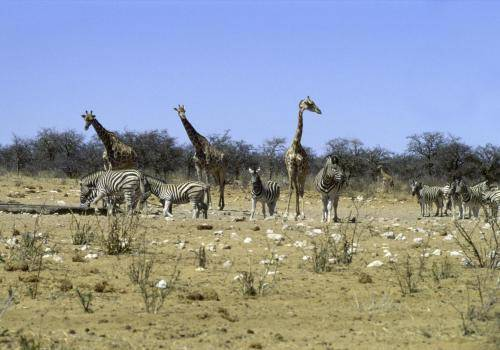 Giraffen und Zebras