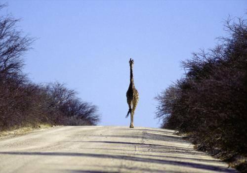 Giraffe auf Wanderung