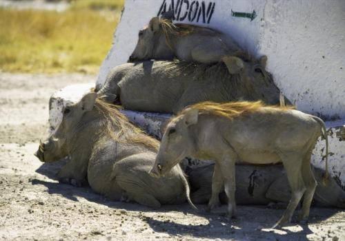 Warzenschweine; eine saumäßig schöne Mittagspause,