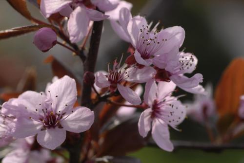 Blühende Blutpflaume