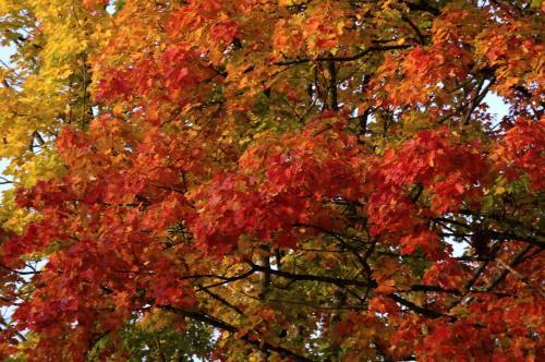 Herbstlaub eines Ahornbaumes