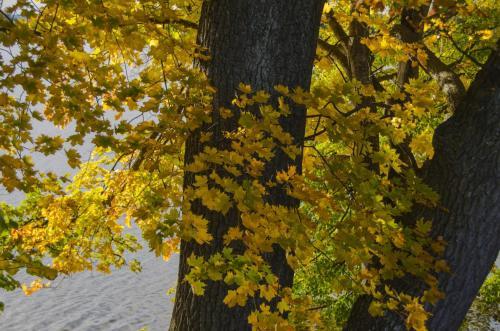 Laubbaum mit herbstlicher Blätterfärbung, Bayern