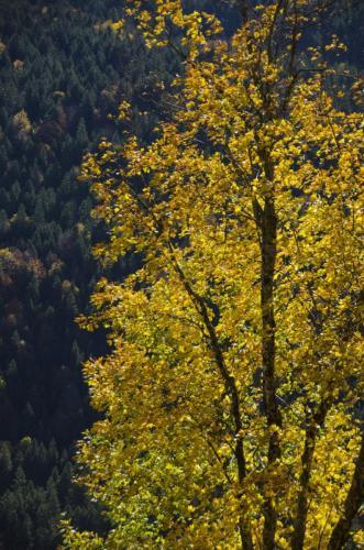 Lichtdurchfluteter herbstlicher Baum, Bayern