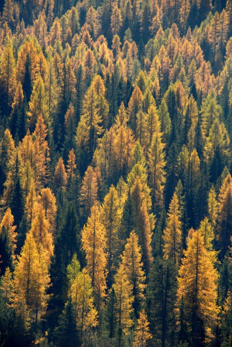Leuchtende Lärchenwälder im Herbst