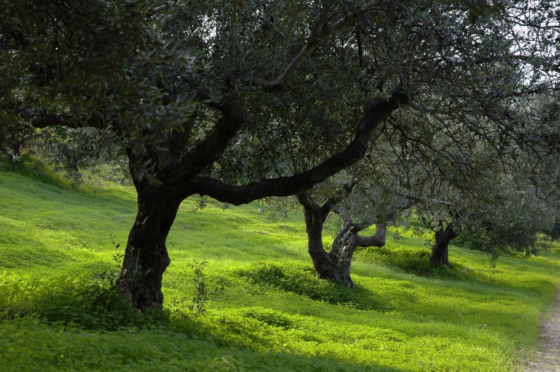 Olivenbäume auf Kreta