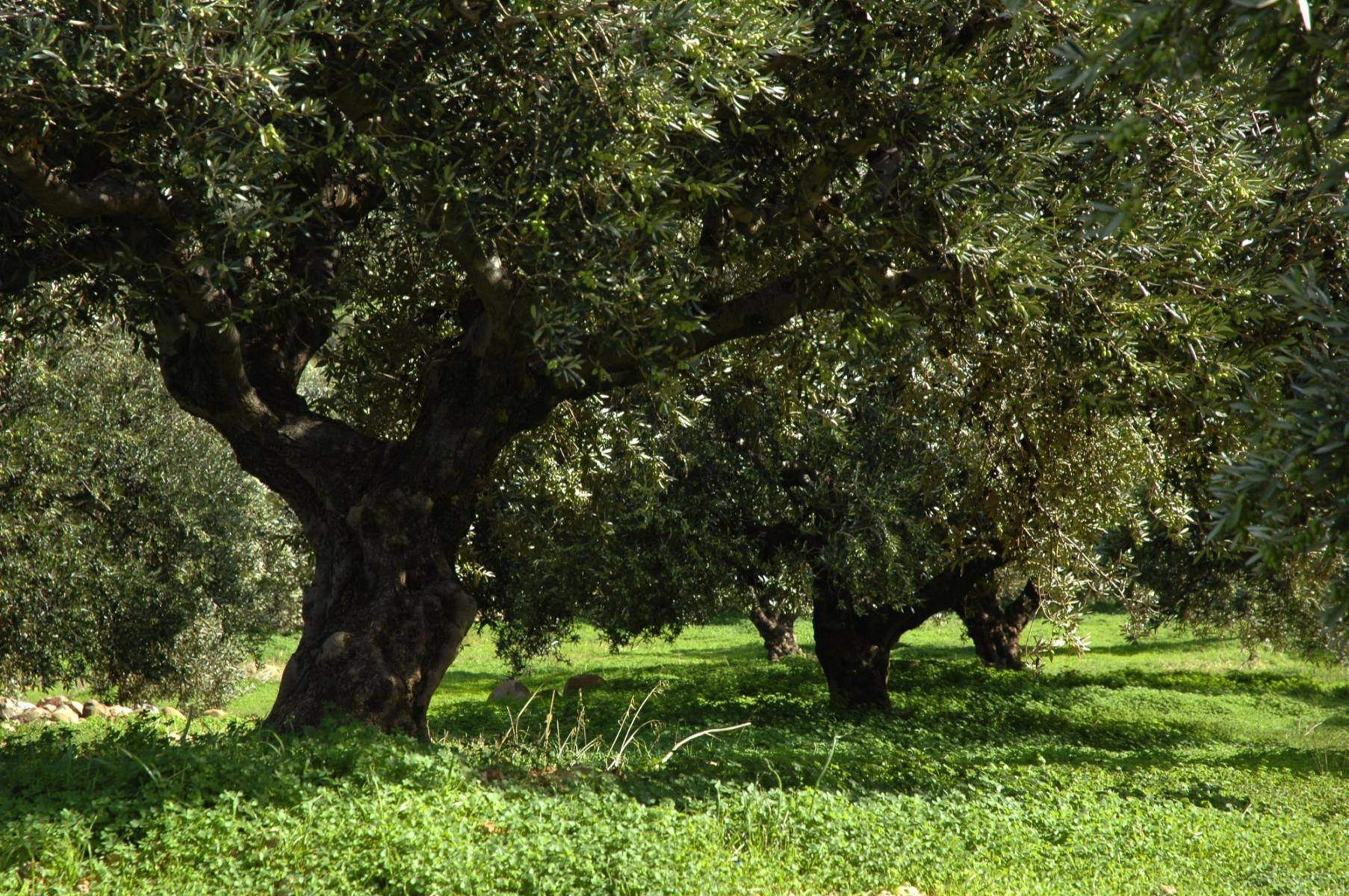 Alte Olivenbäume auf Kreta
