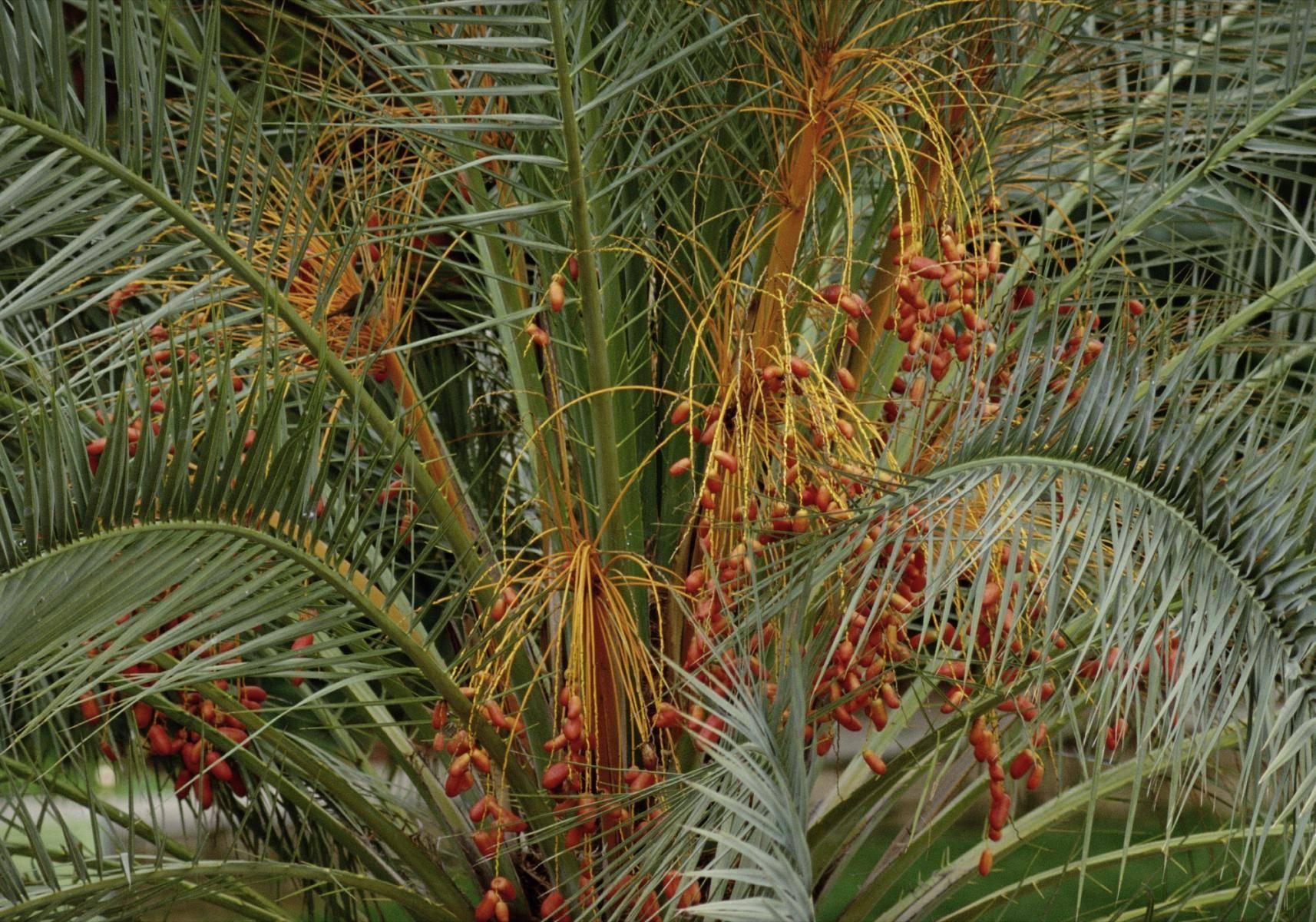 Palmwedeln mit Frucht
